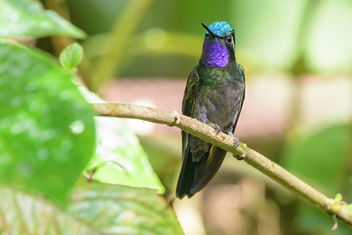 Purple-throated Mountain Gem Hummingbird - Kostenloses image #457967