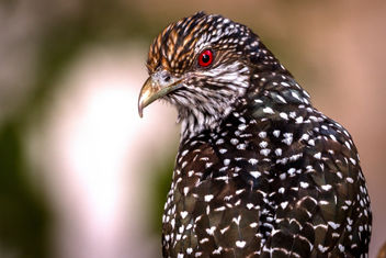 Asian Koel. - Free image #457977