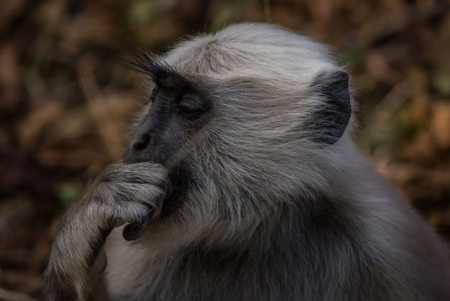 Gray Langur, Jim Corbett National Park, India. - Free image #458187