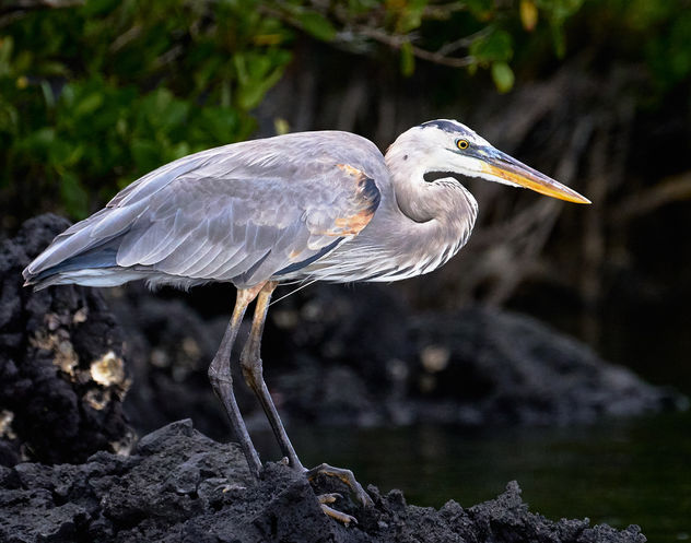 Galapagos Great Blue Heron #3 - Free image #458407