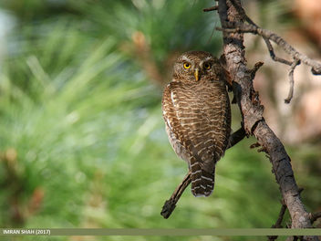 Asian Barred Owlet (Glaucidium cuculoides) - image #458827 gratis