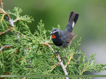 White-tailed Rubythroat (Luscinia pectoralis) - бесплатный image #458937