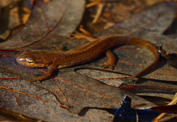 Central Newt (Notophthalmus viridescens) - бесплатный image #458957