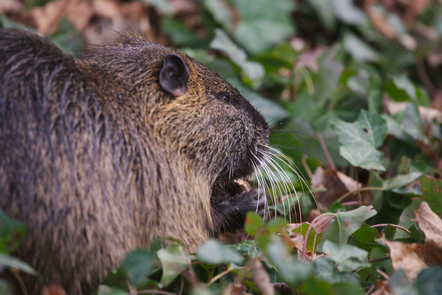 The day I met a nutria - Free image #459017