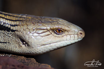 Blue Tongue Lizard - image gratuit #459067