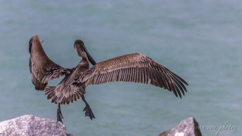 Leap of Faith ~ Brown Pelican ~ Pelecanus occidentalis ~ Port St. Lucie, Florida - Free image #459127