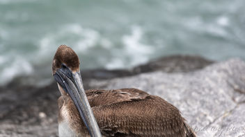 Brown Pelican ~ Pelecanus occidentalis ~ Port St. Lucie, Florida - image gratuit #459187