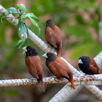Chestnut Munia, taken in my garden - Free image #459657