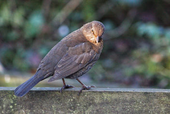 Female Blackbird - image #459667 gratis