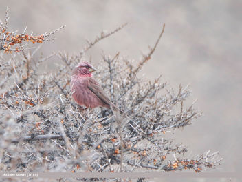Red-Mantled Rosefinch (Carpodacus rhodochlamys) - Free image #460067