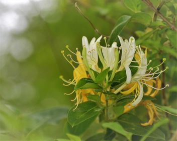 Japanese Honeysuckle - image gratuit #460367