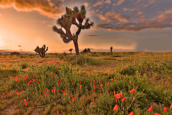 Poppies and Joshua Trees - Kostenloses image #460387