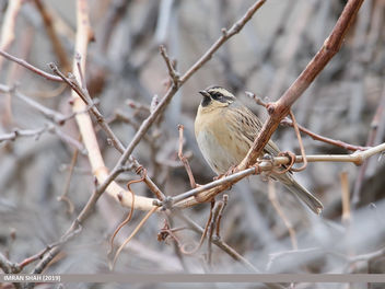 Black-throated Accentor (Prunella atrogularis) - Free image #460637