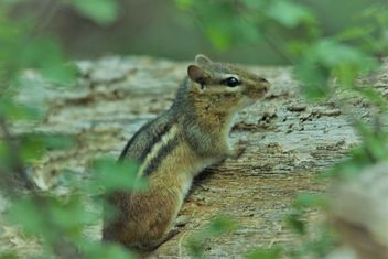 Chipmunk in the Woods - image gratuit #460857