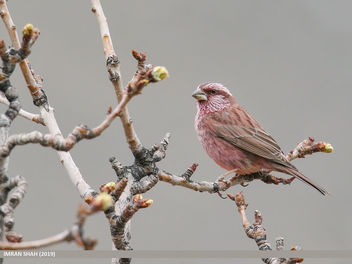Red-Mantled Rosefinch (Carpodacus rhodochlamys) - Free image #461007