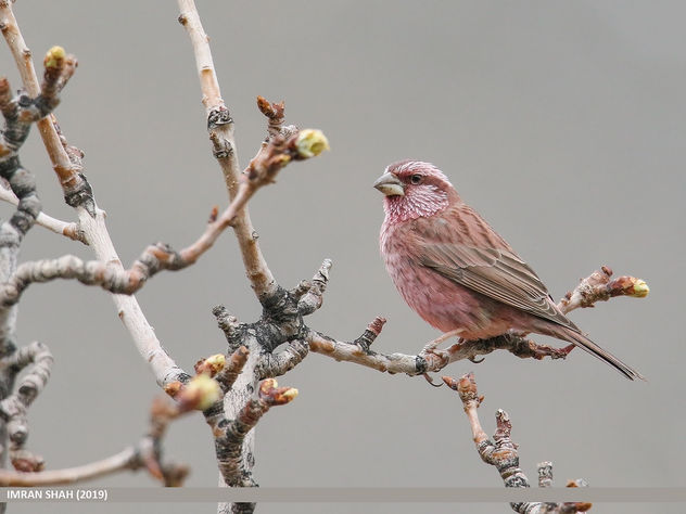 Red-Mantled Rosefinch (Carpodacus rhodochlamys) - Kostenloses image #461007
