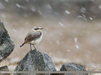 Northern Wheatear (Oenanthe oenanthe) - image gratuit #461187