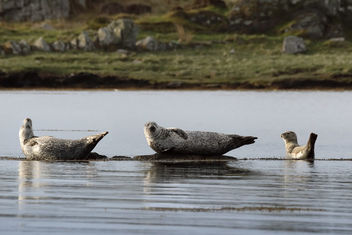 Family Of Seals - Kostenloses image #461267