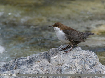 White-throated Dipper (Cinclus cinclus) - Free image #461607