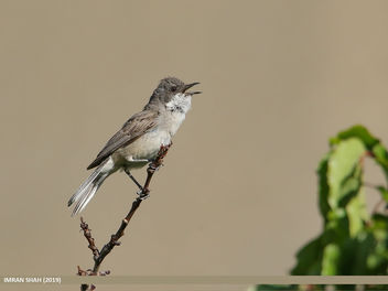 Lesser Whitethroat (Sylvia curruca) - Free image #461807