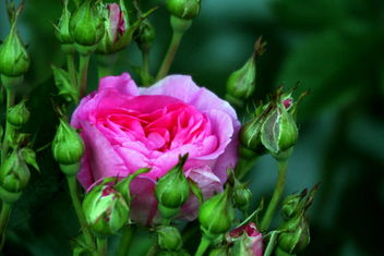 The Rose-flower among buds... - Free image #461827