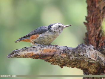 White-cheeked Nuthatch (Sitta leucopsis) - Free image #462567