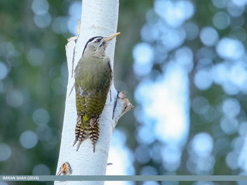 Scaly-bellied Woodpecker (Picus squamatus) - image gratuit #462597