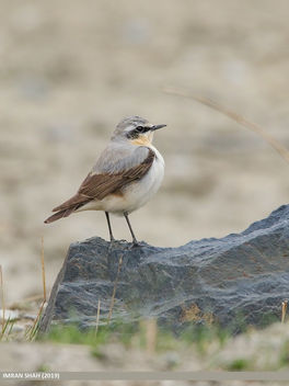 Northern Wheatear (Oenanthe oenanthe) - Free image #462627