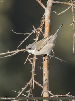 Lesser Whitethroat (Sylvia curruca) - Free image #462667