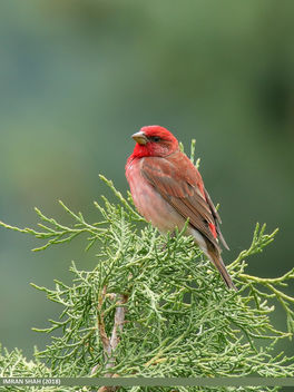 Common Rosefinch (Carpodacus erythrinus) - Kostenloses image #462887