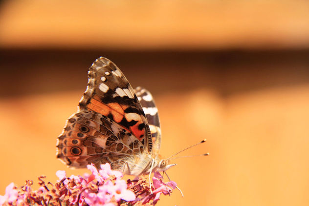 Butterfly - Summer - image gratuit #462927
