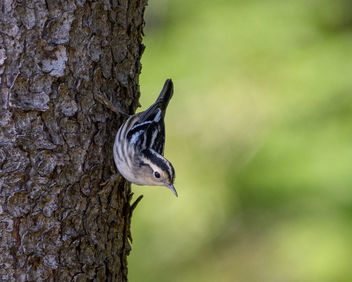 Black-and-white Warbler - Free image #463497