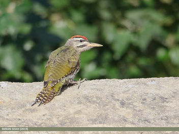 Scaly-bellied Woodpecker (Picus squamatus) - image gratuit #463767