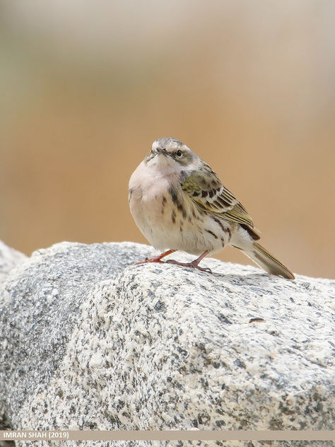 Rosy Pipit (Anthus roseatus) - Free image #463907