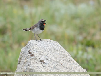 White-tailed Rubythroat (Luscinia pectoralis) - image #463927 gratis