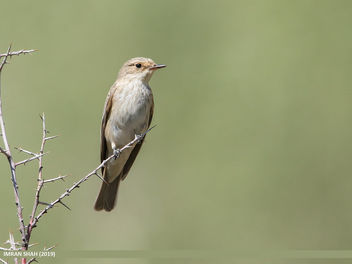 Spotted Flycatcher (Muscicapa striata) - Free image #464167