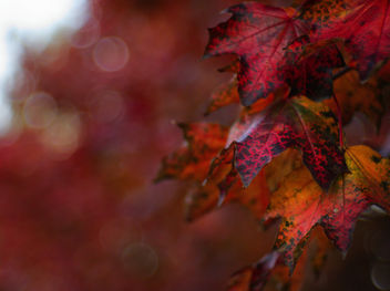 Red leaves - image #464697 gratis