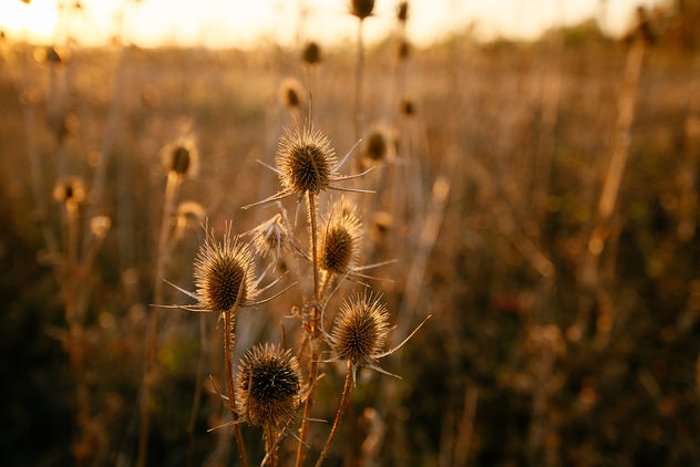Thistle on autumn sunset. - image #464867 gratis