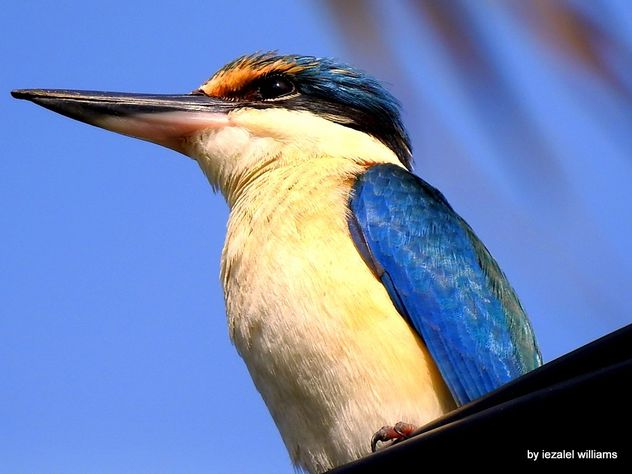 Portrait of a Sacred Kingfisher by iezalel williams DSCN1474-002 - Free image #465687