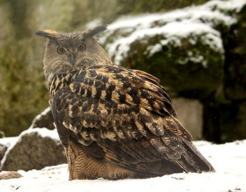 The Eagle owl. - image #465757 gratis