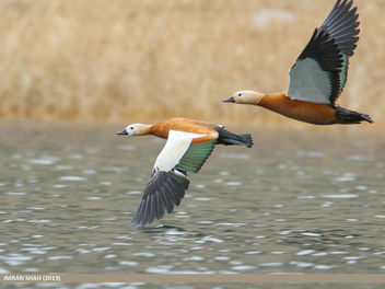 Ruddy Shelduck (Tadorna ferruginea) - бесплатный image #465817