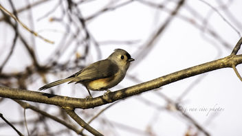 Tufted Titmouse ~ Baeolophus Bicolor ~ Huron River and Watershed, Michigan - Kostenloses image #466077