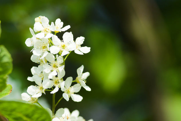 DSC_7145 white flowers - nature close up - Kostenloses image #466477