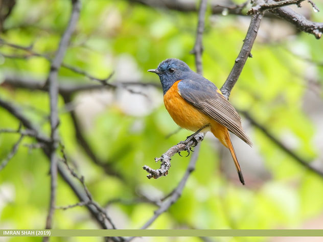 Blue-fronted Redstart (Phoenicurus frontalis) - Free image #466537