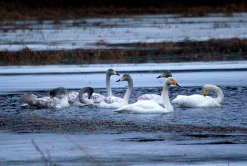 Swan familie - Free image #466627
