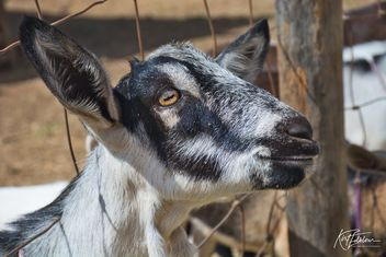 A Goats life - Kostenloses image #466657