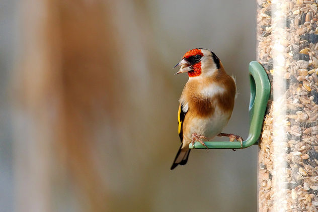 Goldfinch - Free image #466717
