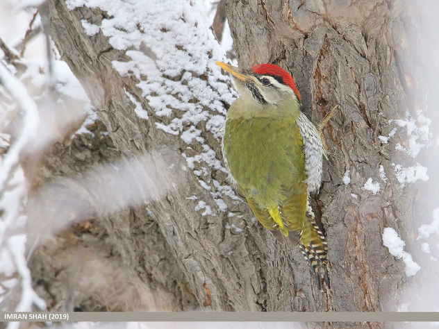 Scaly-bellied Woodpecker (Picus squamatus) - Free image #466807