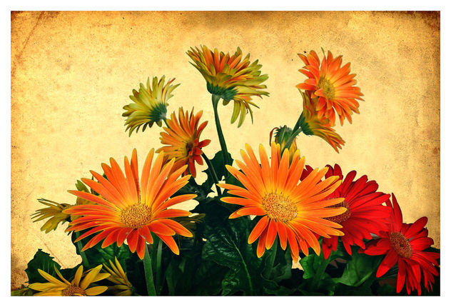 Bouquet of Gerbera Daisies - Free image #466847