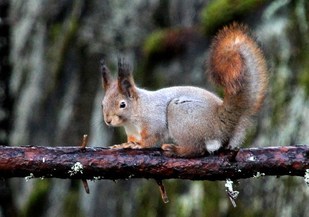 Squirrel on a branch - бесплатный image #467017